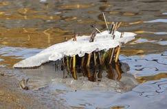 河用茅草盖冻在冰 库存图片