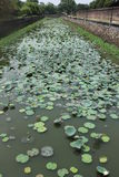 河用水Lillies 免版税库存照片