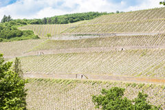 河的摩泽尔陡峭的葡萄园 免版税库存图片