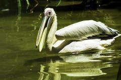 河的鹈鹕 图库摄影