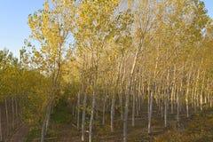 河的Po -意大利04一个白杨树森林 库存照片