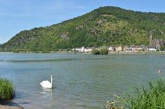 河莱茵河在有天鹅的德国 免版税库存照片