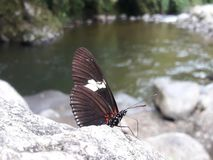 河蝴蝶 图库摄影