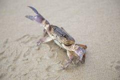 河螃蟹 免版税库存照片
