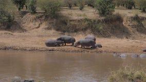 河马休息牧群在海滩和在玛拉河的水的中 股票录像