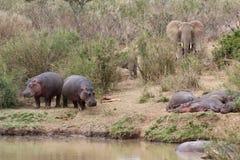 河马和大象在河岸 免版税库存照片
