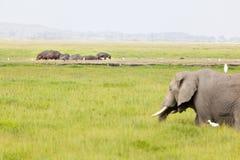 河马和大象在肯尼亚 库存图片