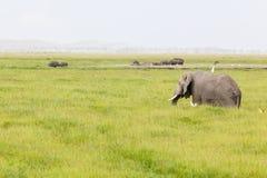 河马和大象在肯尼亚 免版税库存照片