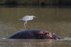 河马和灰色苍鹭 库存照片