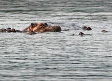 河马在与朋友的水中 免版税图库摄影