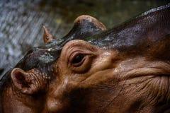 河马在动物园里,缅甸 库存图片