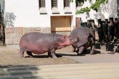 河马在动物园里 免版税库存照片