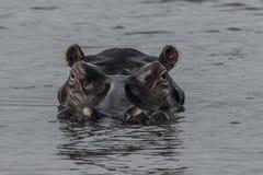 河马在南非圣卢西亚 免版税图库摄影