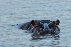河马在南非圣卢西亚 库存照片