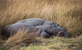 河马在南非浇灌 免版税库存照片