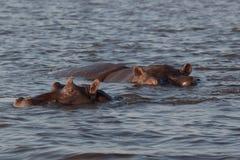 河马在博茨瓦纳 库存照片