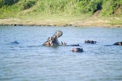 河马在射击序列的开头嘴在更加伟大的圣卢西亚沼泽地公园世界遗产名录站点,圣卢西亚,南非 免版税图库摄影