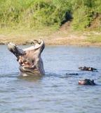 河马在射击序列的开头嘴在更加伟大的圣卢西亚沼泽地公园世界遗产名录站点,圣卢西亚,南非 免版税库存照片