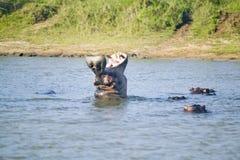 河马在射击序列的开头嘴在更加伟大的圣卢西亚沼泽地公园世界遗产名录站点,圣卢西亚,南非 库存图片
