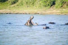 河马在射击序列的开头嘴在更加伟大的圣卢西亚沼泽地公园世界遗产名录站点,圣卢西亚,南非 库存照片