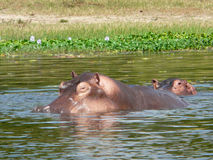 河马在尼罗 库存图片