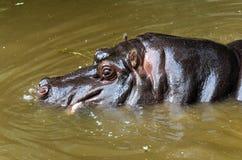 河马在池塘 库存图片