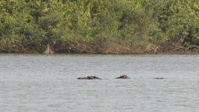 河马在河 库存照片