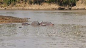 河马在非洲变冷静和休息在玛拉河的棕色水中 股票录像