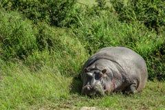 河马在马赛马拉国家公园(肯尼亚) 免版税图库摄影