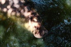 河马在水中的享受一浸泡 免版税图库摄影