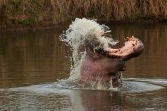 河马在水中 库存图片