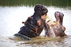 河马在水中 免版税库存照片