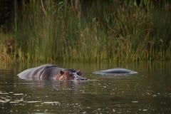 河马在水南非中 库存照片