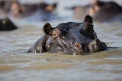 河马在水南非中 图库摄影