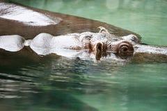河马在费城动物园的河马amphibius 免版税库存图片