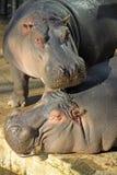 河马在巴塞罗那动物园里 免版税库存图片