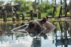 河马在Busch庭院坦帕湾 佛罗里达 免版税库存图片