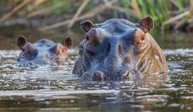 河马在Okavango沼泽地 免版税图库摄影