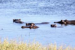 河马家庭河马amphibius,在Chobe河,博茨瓦纳 库存照片