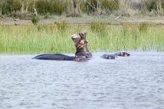 河马开头嘴在更加伟大的圣卢西亚沼泽地公园世界遗产名录站点,圣卢西亚,南非 库存图片