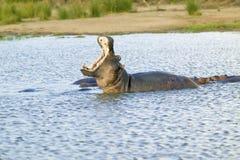 河马开头嘴在更加伟大的圣卢西亚沼泽地公园世界遗产名录站点,圣卢西亚,南非 免版税库存照片