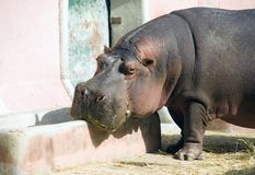 河马有蹄动物大动物猪非洲 库存照片