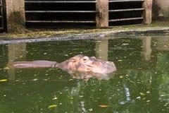 河马游泳里面肮脏的水 库存照片