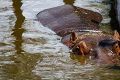 河马画象在水,特写镜头照片中 免版税库存图片