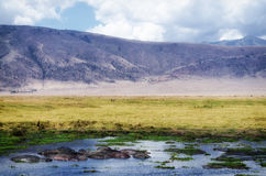河马, Ngorongoro火山口 免版税库存照片