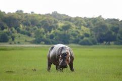河马-乔贝国家公园-博茨瓦纳 免版税图库摄影