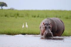 河马-乔贝国家公园-博茨瓦纳 免版税库存照片