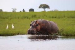 河马-乔贝国家公园-博茨瓦纳 库存图片