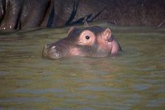 河马婴孩在南非圣卢西亚 库存照片