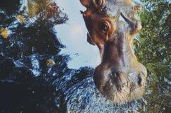 河马-河马游泳在被反射的水中 免版税库存图片